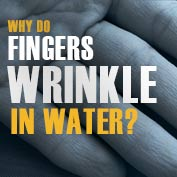 Why do Fingers Wrinkle in Water?