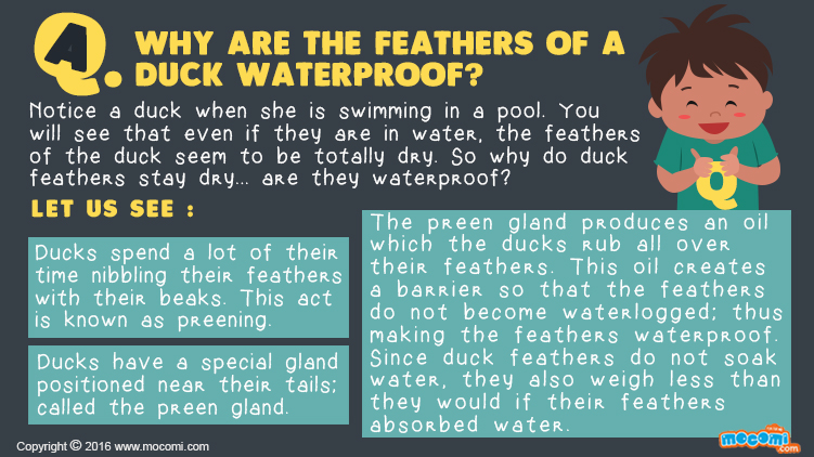 Why are Duck feathers waterproof?