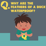 Why are Duck feathers waterproof? - hp