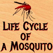Life Cycle of a Mosquito - hp