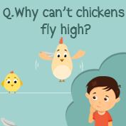 Why can't chickens fly? - Square Thumbnails Image