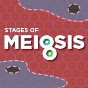Stages of Meiosis - Square Thumbnails Image